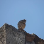 Μοναδικοί φτερωτοί επισκέπτες στα Λεχαινά Ηλείας