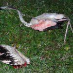 Εθνικό Πάρκο Κοτυχίου – Στροφυλιάς : Τσιφλίκι στα χέρια των λαθροκυνηγών που σκοτώνουν μέχρι και τους Ερωδιούς ! (φωτο)