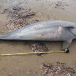 Νεκρό δελφίνι στην ακτή του Εθνικού Πάρκου Κοτυχίου – Στροφυλλιάς ( βίντεο – φωτο)